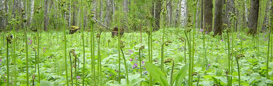 fern_forest.jpg